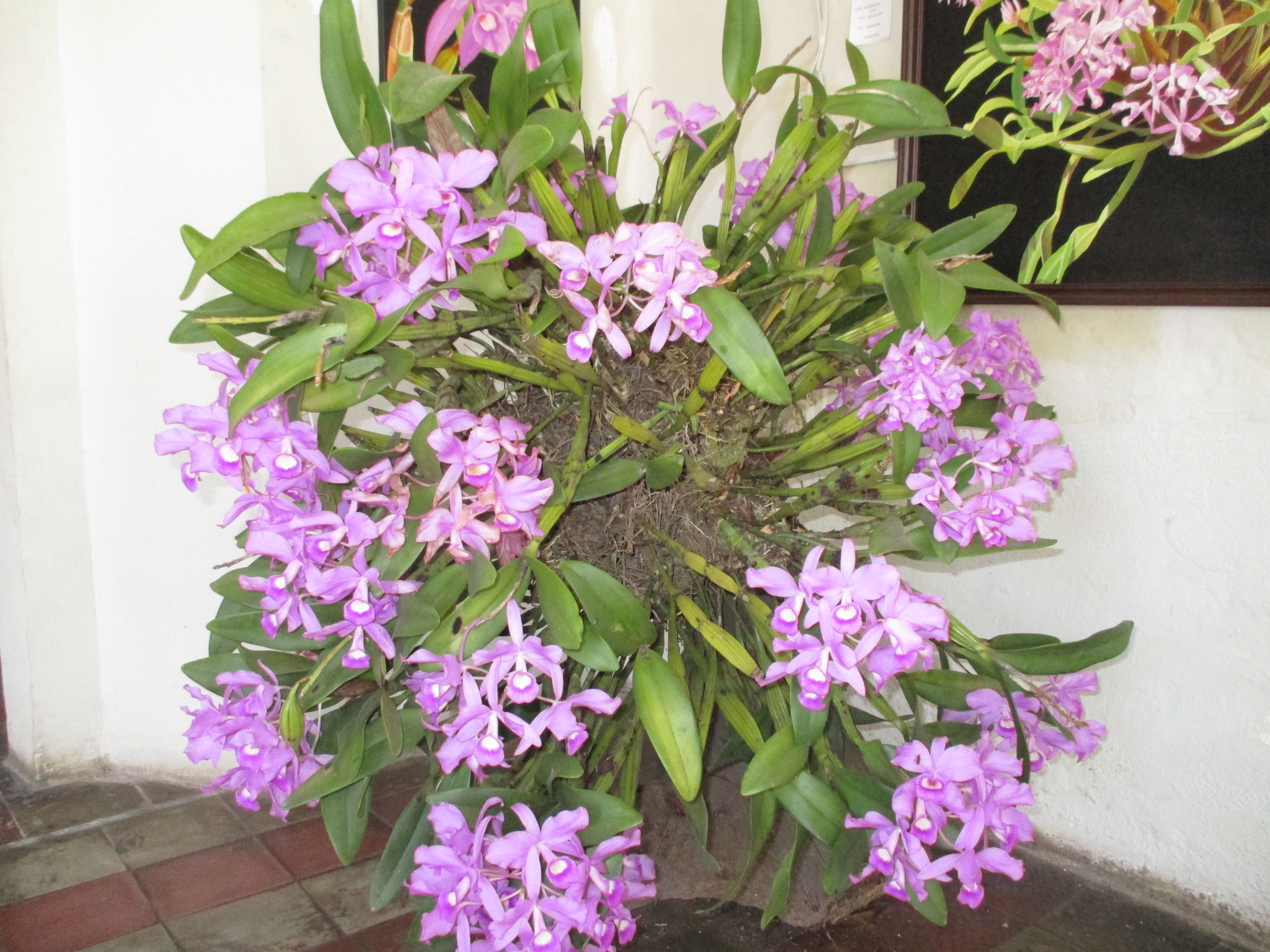 Care of Cattleya Orchids Orchid Species Cattleya