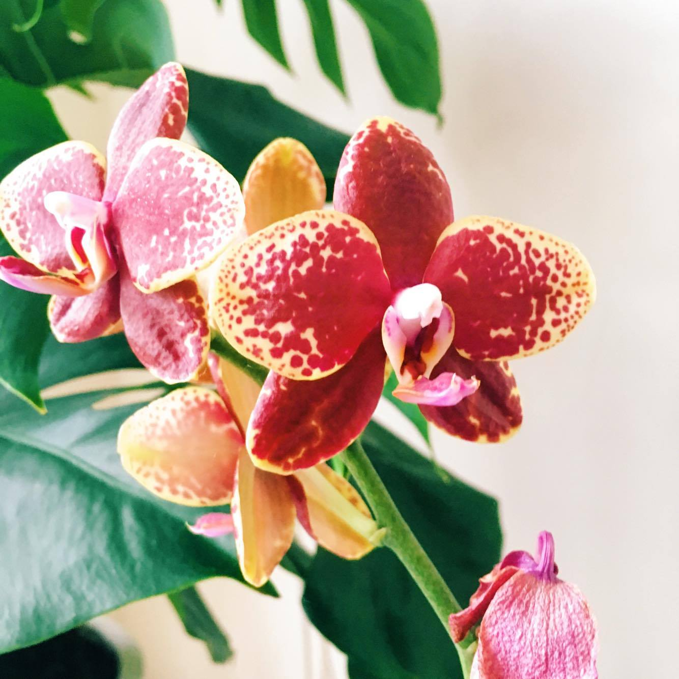 Photo of the week orchid plant care phalaenopsis for Orchidea phalaenopsis cura