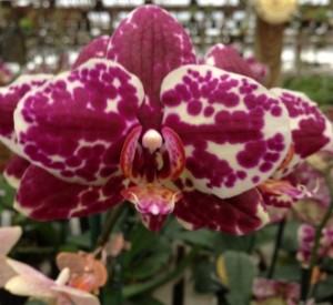 Cream Parfait Orchid