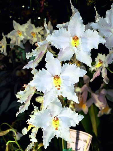 Caring For Odontoglossum Orchids Orchid Plant Care