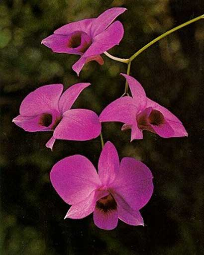 Dendrobium Orchid Flowers Orchid Plant Care