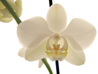 Phalaenopsis Orchid Plant Care Orchid Plant Care