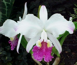 A semi alba orchid with a purple lip.