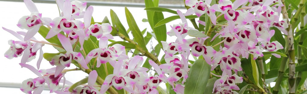what is so special about orchids (vanda miss joaquim) vanda miss joaquim, our very own singapore national flower a natural hybrid orchid between vanda terres and vanda hookeriana it was first discovered in 1893, in the garden of agnes joaquim, an armenian best known for breeding the hybrid orchid.