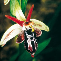 Goat Orchid