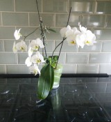 Orchid of the Week