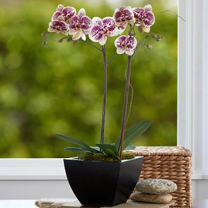 Mother's Day Orchids