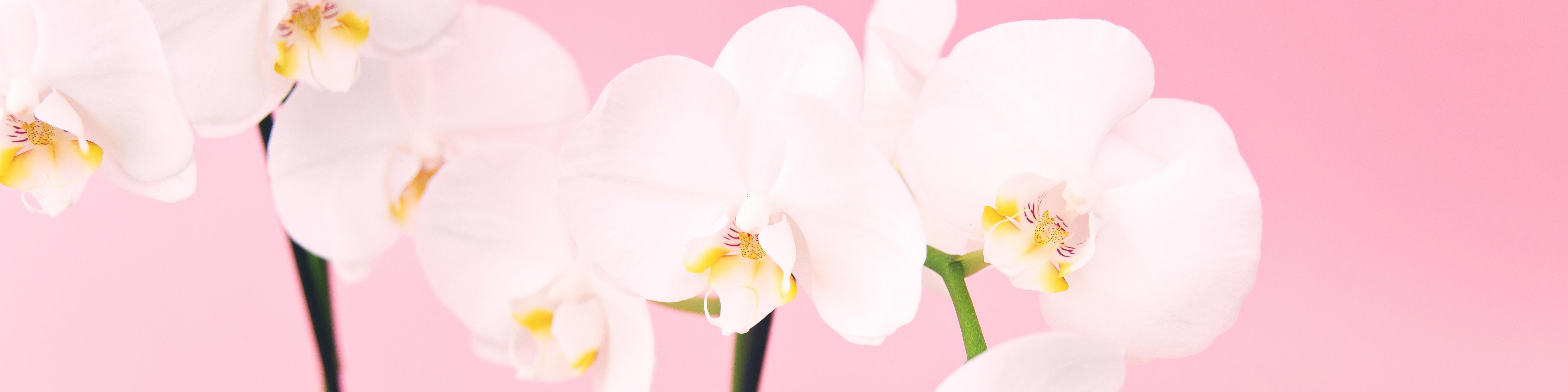 White orchid, pink background