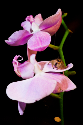 Spider on Orchid