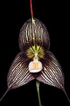 Dracula Orchid